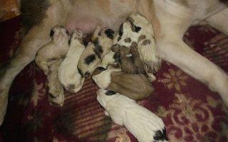 Норма выделений после родов собаки и как определить осложнения